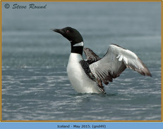 great-northern-diver-49.jpg