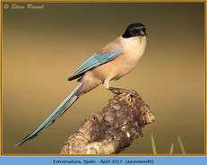 azure-winged-magpie-40.jpg