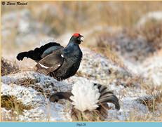 black-grouse-123.jpg