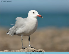 audouin's-gull-48.jpg