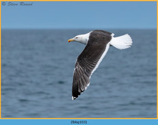 lesser-black-backed-gull-103.jpg