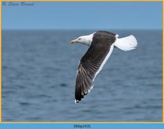 lesser-black-backed-gull-103.jpg