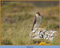 sparrowhawk-20.jpg