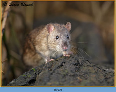 brown-rat-22.jpg