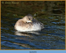 little-grebe-06.jpg