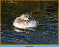 little-grebe-06.jpg