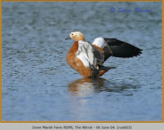 ruddy-shelduck-03.jpg