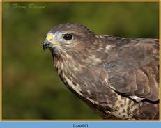 buzzard- 66.jpg