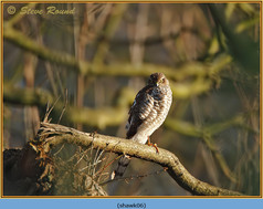 sparrowhawk-06.jpg