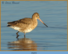 black-tailed-godwit- 92.jpg