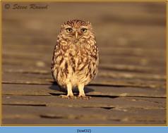 little-owl-32.jpg