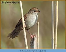 cettis-warbler-11.jpg