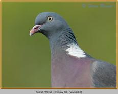 wood-pigeon-10.jpg