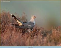 cuckoo-153.jpg