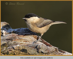 willow-tit-13.jpg