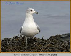 ring-billed-gull-10.jpg