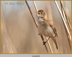 reed-warbler-09.jpg