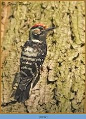 lesser-spotted-woodpecker-12.jpg