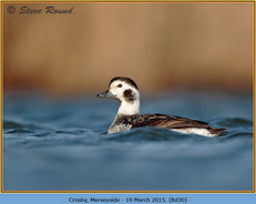 long-tailed-duck-30.jpg