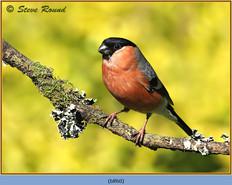 bullfinch-60.jpg