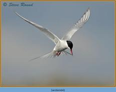 arctic-tern-64.jpg