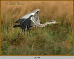 grey-heron-32.jpg