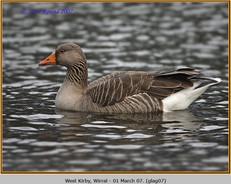 greylag-goose-07.jpg