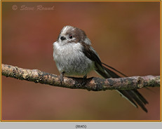 long-tailed-tit-45.jpg