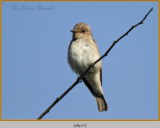 spotted-flycatcher-17.jpg