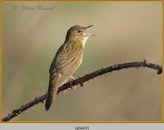 grasshopper-warbler-22.jpg