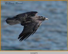 carrion-crow-27.jpg