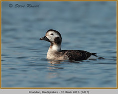 long-tailed-duck-17.jpg