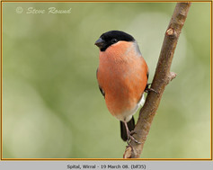 bullfinch-35.jpg