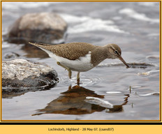 common-sandpiper-07.jpg