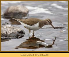 common-sandpiper-07.jpg