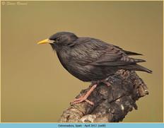 spotless-starling-08.jpg