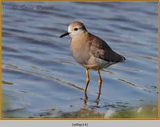 white-tailed-lapwing-14.jpg