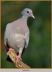 stock-dove-21.jpg