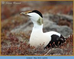 eider-duck- 54.jpg