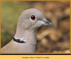 collared-dove-02.jpg