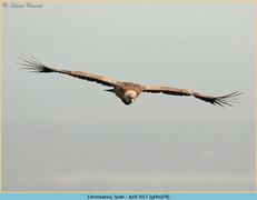 griffon-vulture-78.jpg