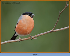 bullfinch-57.jpg