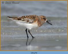 sanderling-78.jpg