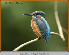 kingfisher-26.jpg
