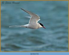 arctic-tern-72.jpg