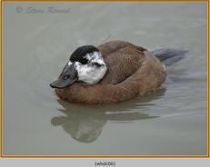whited-headed-duck-06c.jpg