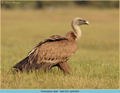 griffon-vulture-56.jpg