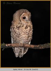 tawny-owl-10.jpg