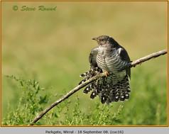 cuckoo-16.jpg