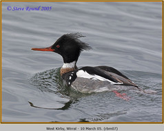 red-breasted-merganser-07.jpg